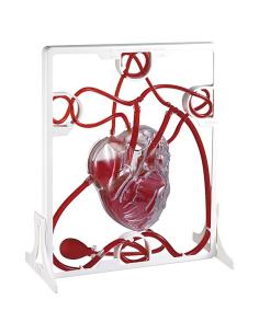 maquette coeur pompe svt biologie cardiaque college cardioMoule de squelette didactique scolaire materiel ecole