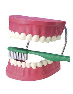 Modèle dentaire mâchoire dent brosse didactique scolaire materiel ecole