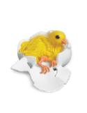 Figurines cycle de vie de la poule