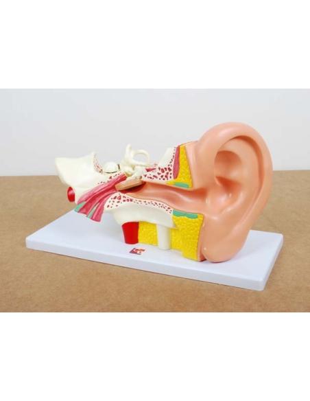Maquette représentation oreille humaine grossie 4x parties amovible