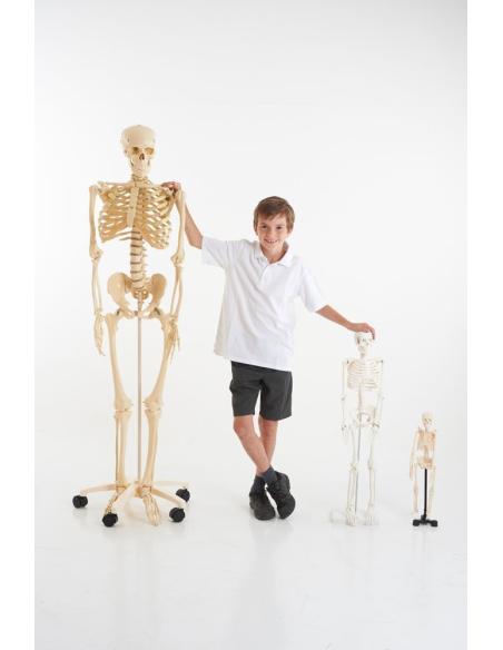 maquette anatomique tronc humain didactique scolaire materiel ecole