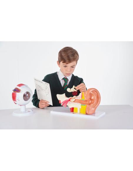 Maquette œil démontable Maquette pedagogique didactique Montessori oculaire Matériel éducatif