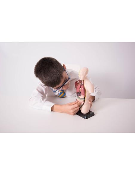 maquette anatomique puzzle tronc humain didactique scolaire materiel ecole biologie torse