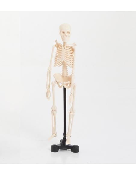 pedagogique squelette humain os biologie ddm maquette anatomique tronc humain didactique scolaire materiel ecole