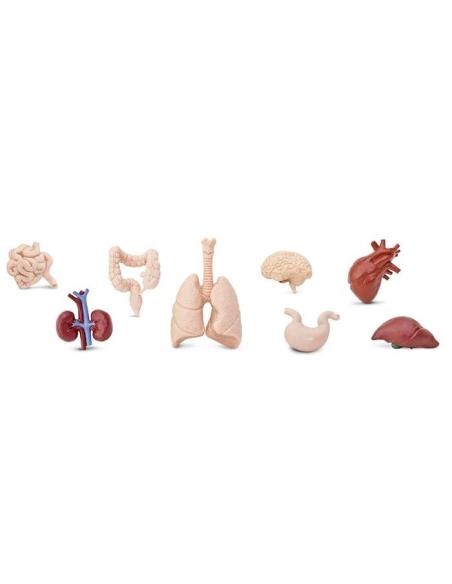 Organes humain figurine educative montessori enrichissement education biologie SVT DDM corps estomac collège primaire
