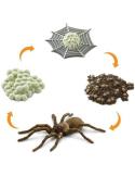 Cycle de vie de l'araignée