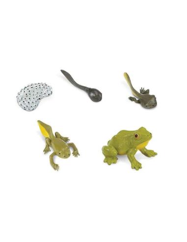Cycle vie grenouille figurine safari educative montessori pedagogique enrichissement