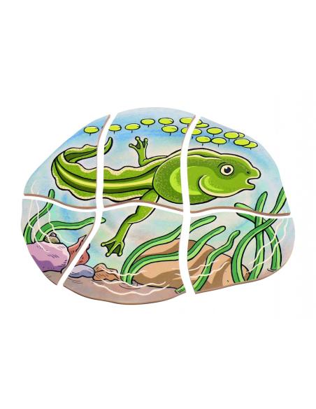 Puzzle étages cycle vie grenouille Beleduc materiel sequence science ecole maternelle primaire catalogue profressionel amphibien